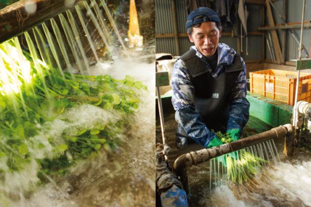 3. 田から収穫されたせりは、田のすぐ横にある納屋の中で、地下水を使って洗浄。ここでも腰まで水に浸かりながら…