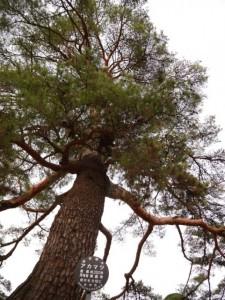 本堂の手前にある仙台市保存樹木に指定されている「アカマツ」(推定樹齢350年)