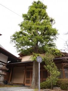 こちらは本堂横にある、同じく仙台市保存樹木の「コウヨウザン」(推定樹齢150年)