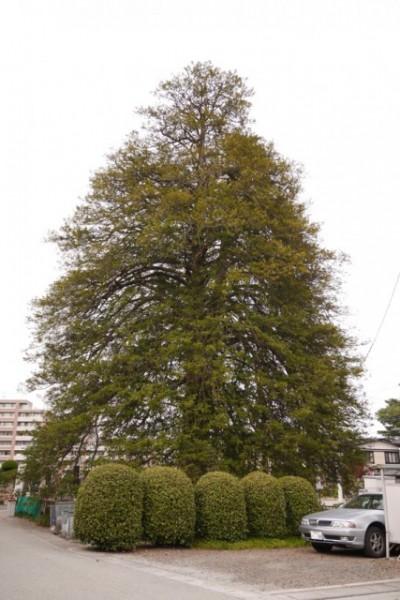 そしてこの木が推定樹齢500年の「マルミガヤ」。国指定の天然記念物である!