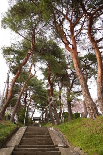 アカマツ並木の参道を登る
