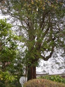 仙台市の保存樹木「ヒヨクヒバ」
