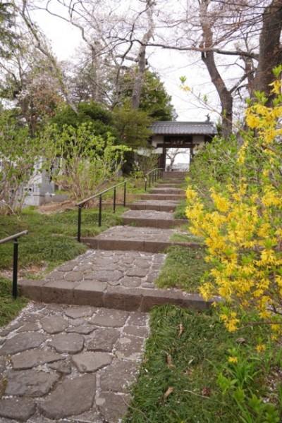 参道の左右にはあじさいの木が植えられている。手入れされているあじさいの木はこれからグングンと葉を茂らせきれいな花を咲かせる ※訪れた4月末はまだ成長途中・・・