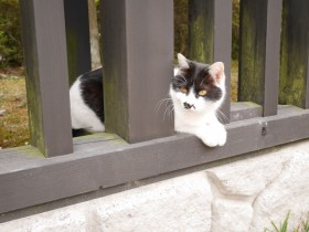 駐車場の柵から半乗りでこちらをうかがっている輪王寺の猫2。近づいても動じない風格のある猫だった